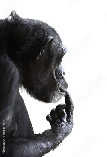 Isolated monkey side view. Chimpanzee's head portrait with surprised expression on its face and its hand on lips isolated on white background
