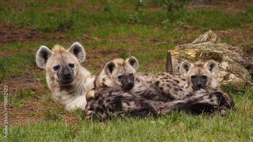 In de dag Hyena Hyena family