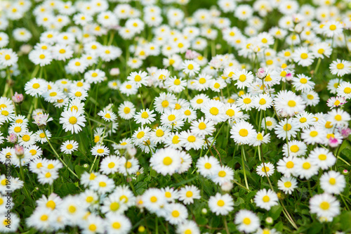 Foto op Canvas Madeliefjes Spring meadow with blooming daisy. Beautiful chamomile, nature background, image toned.