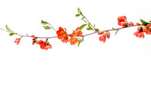 Japanese Quince, Chaenomeles Japonica, In Bloom. Isolated On White Background.
