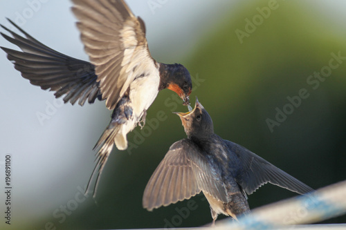Fotografering  Swallows - motherhood, love, care, delicacy and precision