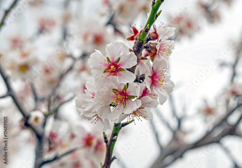 Beautiful pink spring tender flowers blossom Poster