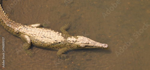 Canvas Prints Crocodile Krokodil in Costa Rica