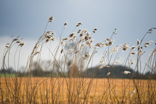 Field Of Wild Grass Blowing And Waving In The Wind With Bright Sunlight Looking Like And Arable Crop With Farm Buildings In Background