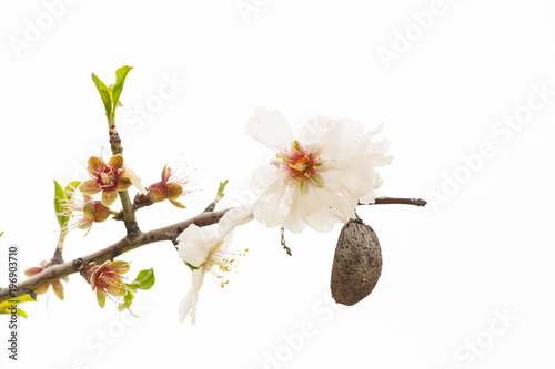 Almond tree blossom and fruit, close-up (white background) Canvas-taulu