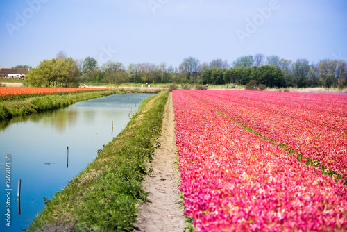 In de dag Candy roze Blossom tulip flowers on colorful countryside field in Holland