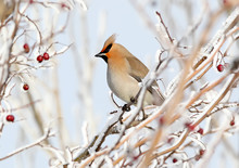 Close Up Photo Of A Waxwing Si...