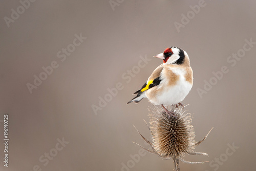 Fotografía A Goldfinch (Carduelis carduelis) sits on a beautiful thorn