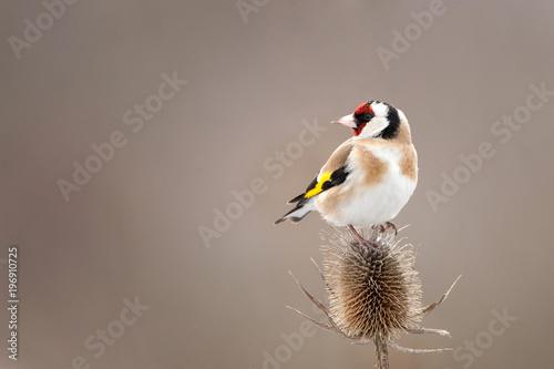 Fototapeta A Goldfinch (Carduelis carduelis) sits on a beautiful thorn