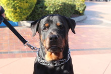 Portrait Of A Rescued Rottweil...