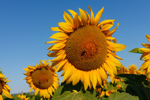 The Blossoming Sunflower With ...
