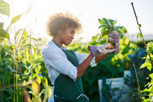 African American Gardener Looking At Freshly Picked From The Ground Golden Beets At Community Communal Garden