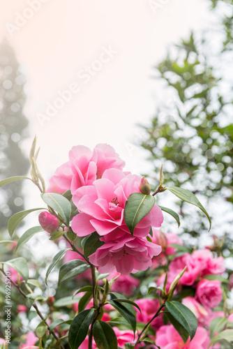 Foto Beautiful Vibrant Pink Camelia Flowers