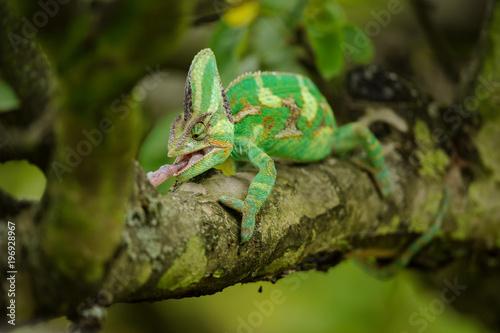 Staande foto Kameleon Closeup front view on hunting chameleon on tree branch
