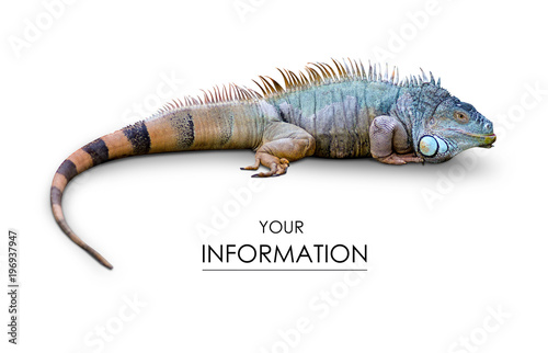 Photographie  Iguana lizard pattern