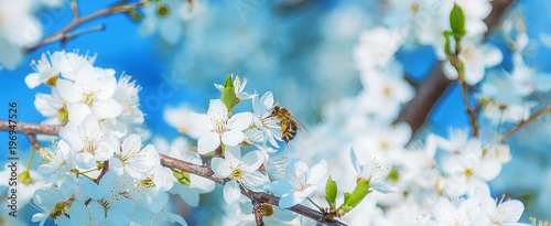 Spoed Foto op Canvas Bee Honey bee flying to the White blooming flowers
