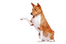Basenji Dog Isolated On White ...