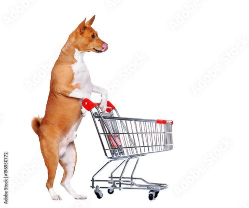 Hungry basenji dog standing on hind legs holding shopping trolley Fototapet