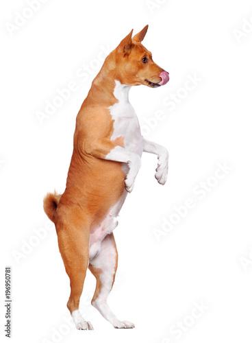 Fotografia, Obraz Hungry basenji dog standing on hind legs shoing his tongue