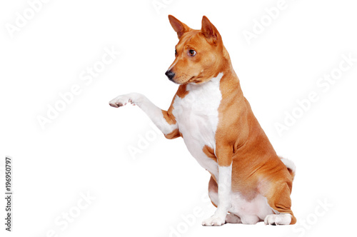 La pose en embrasure Chien Basenji dog isolated on white sitting and giving his paw