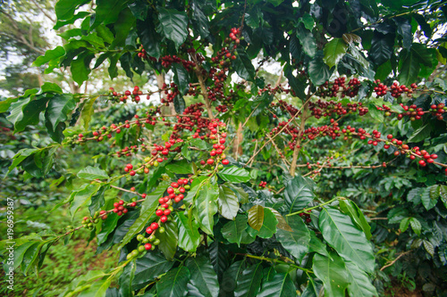 Garden Poster Roe Ripe Arabica coffee berries in a coffee plantation on Bolaven Plateau.