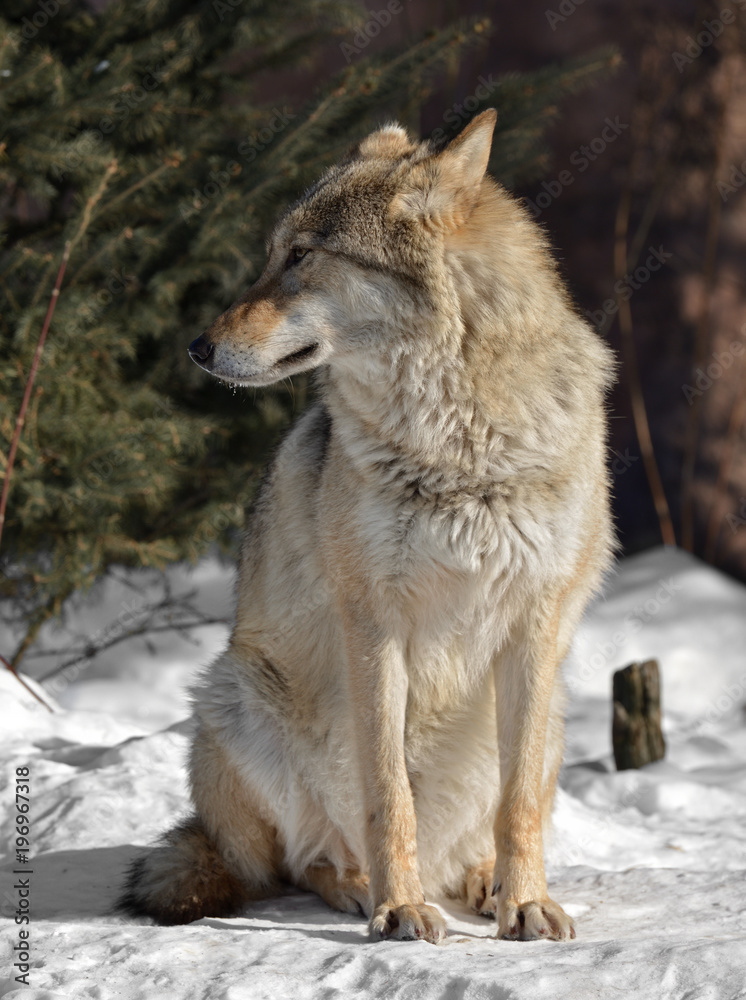 Eurasian wolf (Canis lupus lupus) sits on snow in cold winter