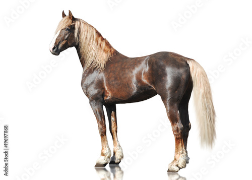 The red Orlov trotter breed horse standing isolated on white background. side view