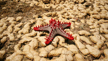 African Red-knobbed Starfish (...