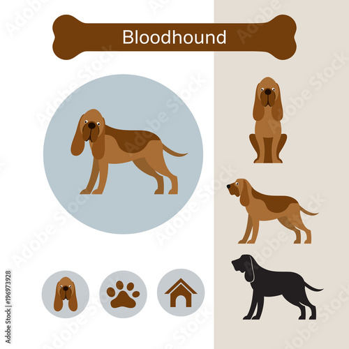 Tablou Canvas Bloodhound Dog Breed Infographic,  Front and Side View, Icon