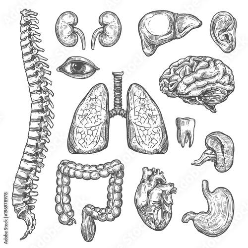 Human organs vector sketch body anatomy icons Fototapeta