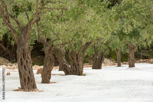 Photo  Old trees on white sand