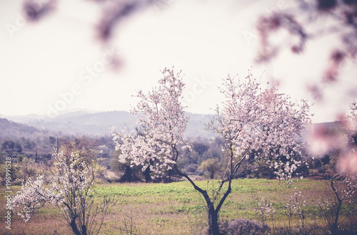 Valokuva  Flowering almond trees in the mountains, beautiful spring landscape, image with