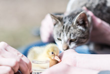 Little Sweet Yellow Goose Holding By Human Hand And Cat Watching It - In The Spring