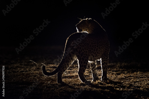 In de dag Luipaard A horizontal, back lit, colour image of a leopard, Panthera pardus, in the Greater Kruger Transfrontier park, South Africa.