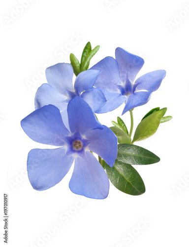 Fotomural bright violet wild periwinkle flower bouquet