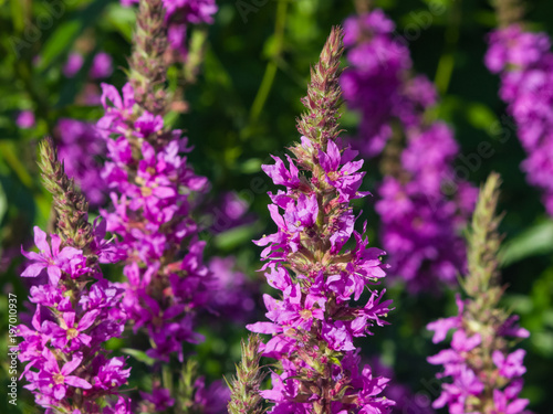 Purple Loosestrife or Lythrum salicaria blossom at flowerbed close-up, selective Canvas Print