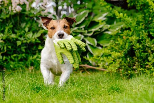 Dog carrying gardening gloves running on green grass lawn at garden © alexei_tm