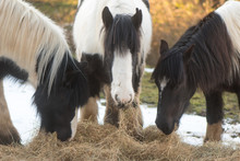 Three Irish Cob Ponies Eating Hay With Snow. Black And White Horses Enjoying Supplementary Food On A Winter's Day
