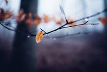 Zarte Laubblätter Hängen Bei Regen An Einem Baum
