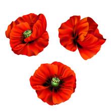3d Illustration Of Red Poppy