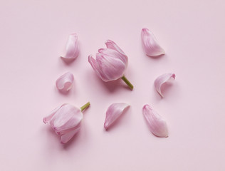 Pink tulip heads and flower petals isolated on light pink background. Flat lay. Top view