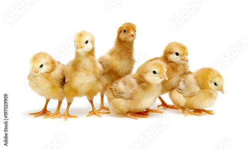 Chicks isolated on white Fototapet