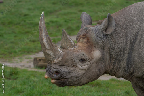 close-up photo portrait of a Black Rhino with a green grass back-ground