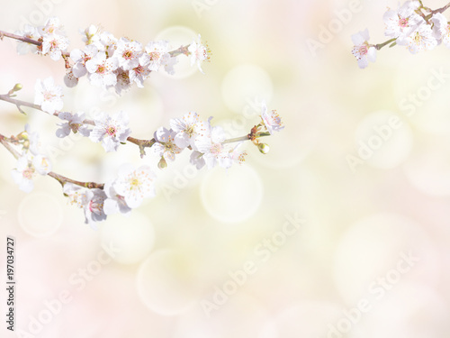 Plum tree branch with white spring flowers