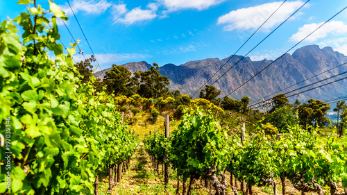 In de dag Lime groen Vineyards of the Cape Winelands in the Franschhoek Valley in the Western Cape of South Africa, amidst the surrounding Drakenstein mountains