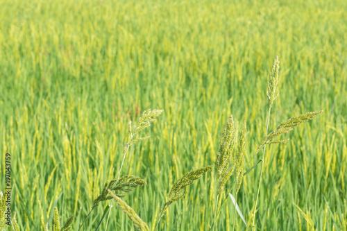 Poster Rijstvelden Scene rice paddies, rice field in summer march, Thailand