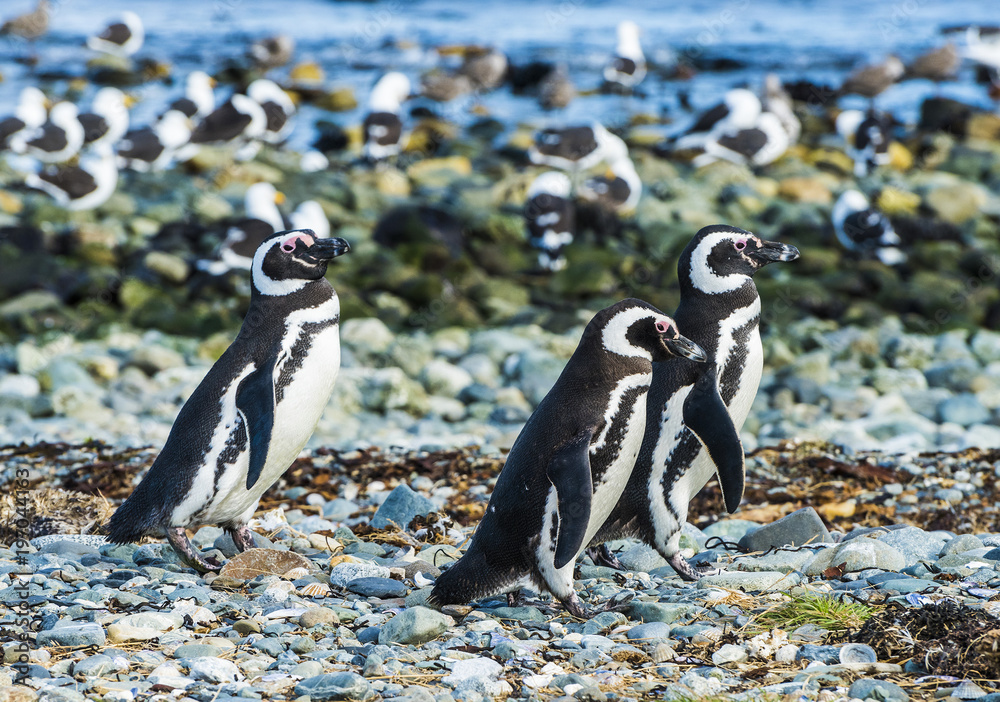 Three Magellanic penguins on Magdalena island in Chile