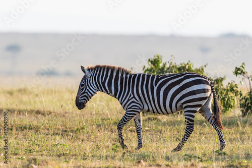 Tuinposter Zebra Zebra walking on the savanna