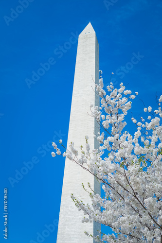 Fotografie, Obraz  Cherry Blossoms at the Washington Monument