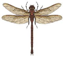 Vector Realistic Dragonfly Clo...